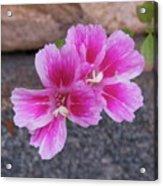 Pink Hands Acrylic Print