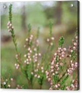 Pink Heather, Calluna Vulgaris, In Foggy Forest Acrylic Print