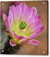 Pink Hedgehog Cactus Acrylic Print