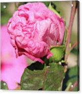Pink Hibiscus Bud Acrylic Print