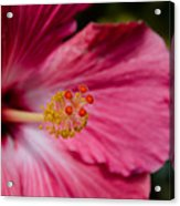 Pink Hibiscus Close-up Acrylic Print