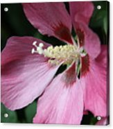 Pink Hibiscus Cose -up Acrylic Print