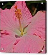 pink hibiscus I Acrylic Print