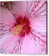 Pink Hibiscus Macro Acrylic Print