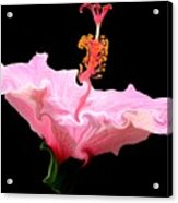 Pink Hibiscus With Curlicue Effect Acrylic Print