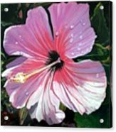Pink Hibiscus With Raindrops Acrylic Print