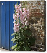 Pink Hollyhocks Growing From A Crack In The Pavement Acrylic Print