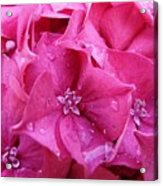 Pink Hydrangea After Rain Acrylic Print