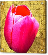 Pink Impression Tulip Acrylic Print