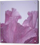Pink Iris Study 8 Acrylic Print