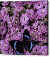 Pink Kalanchoe And Black Butterfly Acrylic Print