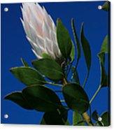 Pink King Protea Kula Maui Hawaii Acrylic Print