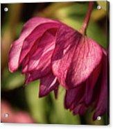 Pink Lampshade Acrylic Print