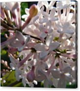 Pink Lilac Blossom Acrylic Print