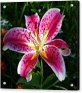 Pink Lilly Acrylic Print