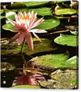 Pink Lily 14 Acrylic Print