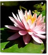 Pink Lily 9 Acrylic Print