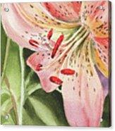 Pink Lily Close Up Acrylic Print