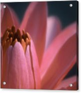 Pink Lily Close-up Acrylic Print