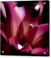 Pink Lily Acrylic Print