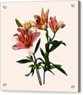 Pink Lily Trio Acrylic Print