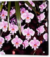 Pink Little Orchids Acrylic Print