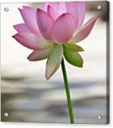 Pink Lotus Vertical Acrylic Print by Dina Calvarese