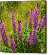Pink Lupins Acrylic Print