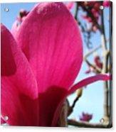 Pink Magnolia Flowers Magnolia Tree Spring Art Acrylic Print