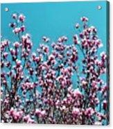 Pink Magnolia Splendor Acrylic Print