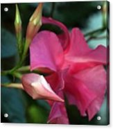 Pink Mandevilla Bud And Flower Acrylic Print