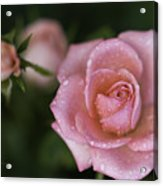 Pink Miniature Roses 3 Acrylic Print by Roger Snyder