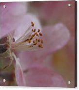 Pink Of Spring Acrylic Print