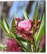 Pink Oleander IIi Acrylic Print