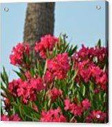 Pink Oleander Acrylic Print