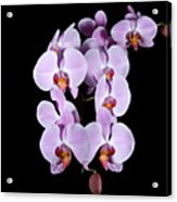 Pink Orchid Iv Acrylic Print