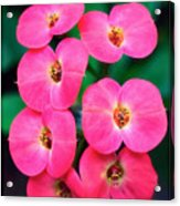 Pink Orchid Crown Of Thorns Acrylic Print