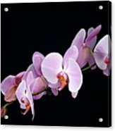Pink Orchid Viii Acrylic Print