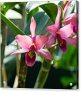 Pink Orchids - Exotic Tropical Glow Acrylic Print
