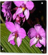 Pink Painted Orchids Acrylic Print
