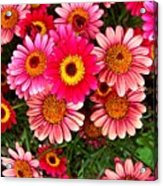 Pink Patterned Mums Acrylic Print