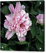Pink Peone Acrylic Print