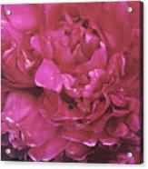 Pink Peony Blossom Acrylic Print