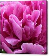 Pink Peony Watercolor Acrylic Print