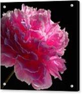 Pink Peony On A Black Background Acrylic Print