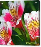 Pink Peruvian Lily 2 Acrylic Print