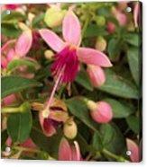 Pink Petalled Fuchsia Blooms              May         Indiana Acrylic Print