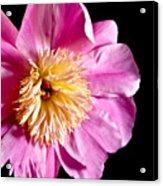 Pink Petals Acrylic Print