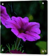 Pink Petunia, Dusk, Hunter Hill, Hagerstown, Maryland, July 25,  Acrylic Print