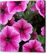 Pink Petunia Acrylic Print